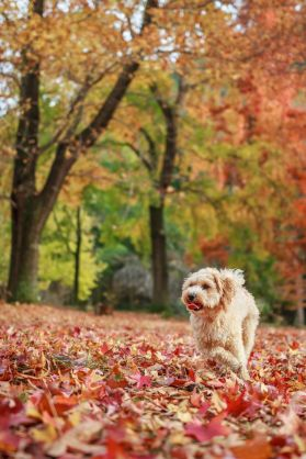 maltipoo-dog-running-on-field-covered-with-dry-royalty-free-image-726887921-1539182996